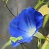 True Blue morning Glory