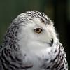 Snowy Owl<br /> Queechee, VT
