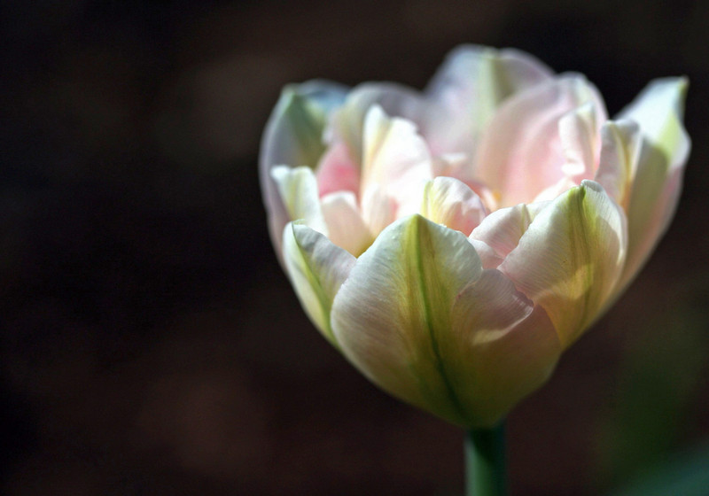 Angelique- Pink Double Tulip
