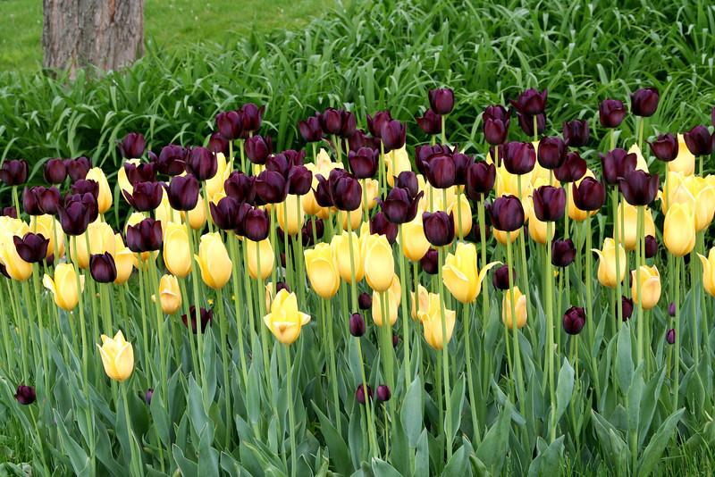 Merlot & Yellow Tulips