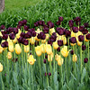 Merlot & Yellow Tulips