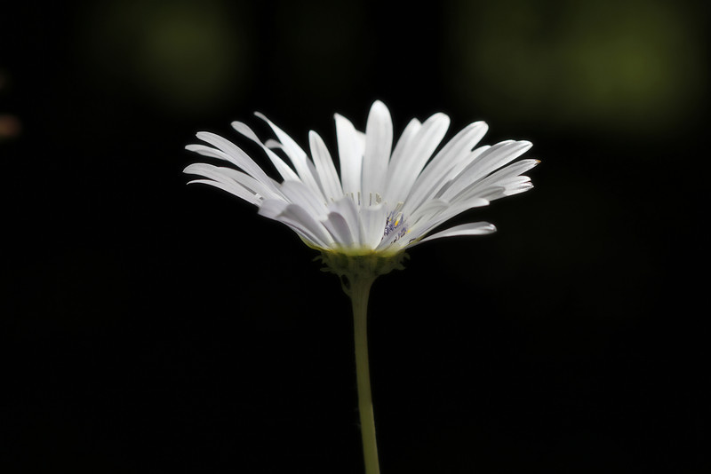 Glow<br /> <br /> arctodis daisy from African daisy family