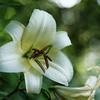 Creamy Oriental Lily