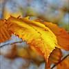 Beech Leaf- brighter