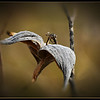 Wings<br /> Just a milkweed pod that looks like a bird to me...