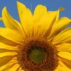 Sunflower at Vermont Wildflower Farm<br /> Shelburne, VT