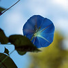 Loking Up !  (Morning Glory)