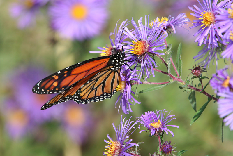 Fall Monarch On Asters