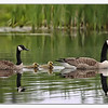 Canadian Goose family at Golf course<br /> Middlebury, VT