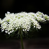 Wild flower, Queen Ann's lace