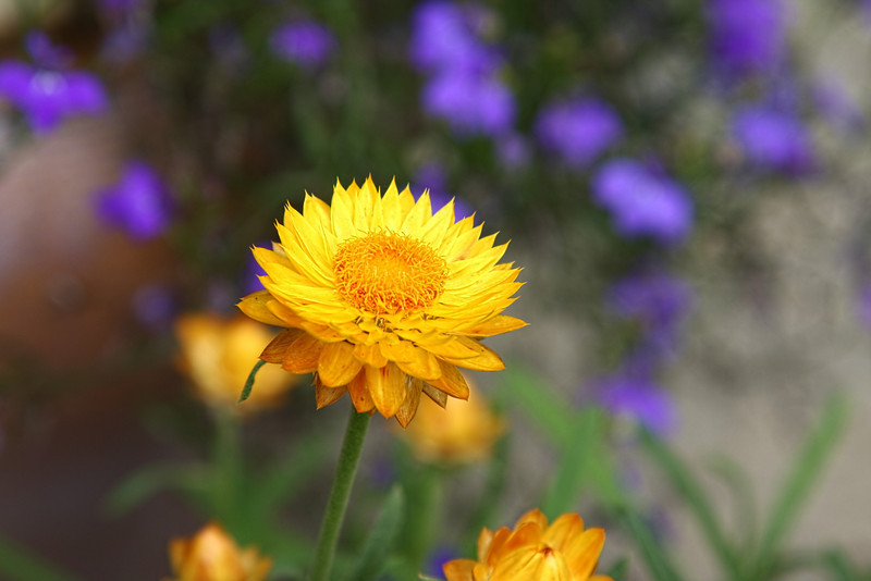 Strawflower with Lobelia