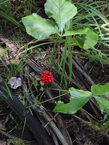 Jack-in-the-Pulpit Berries