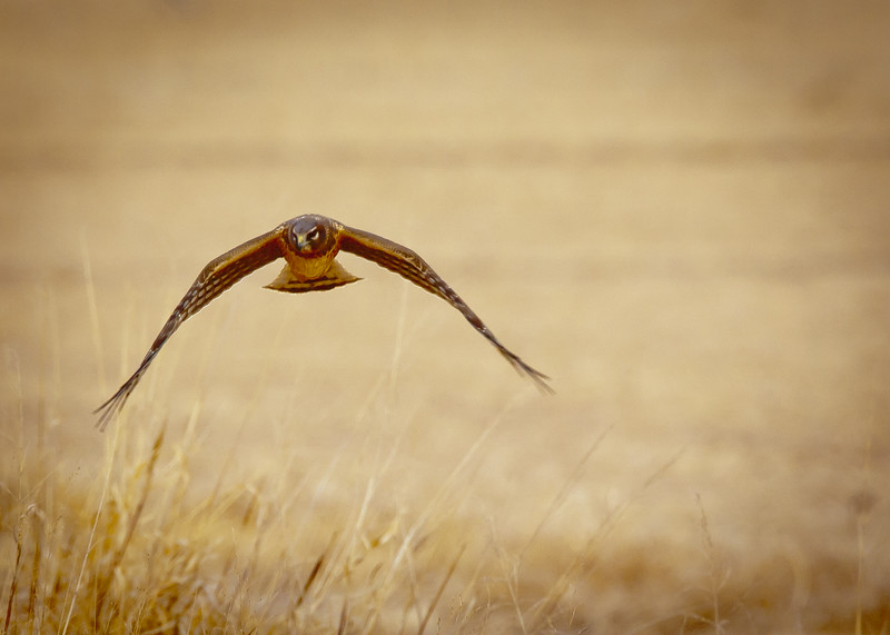 Northern Harrier<br /> Bosque del Apache NWR, New Mexico