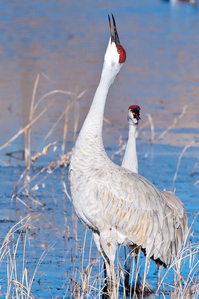 Whooping it up<br /> Whooping Cranes Bosque del Apache NWR, New Mexico