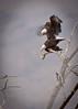 Bald Eagles Mating<br /> Bosque del Apache NWR, New Mexico