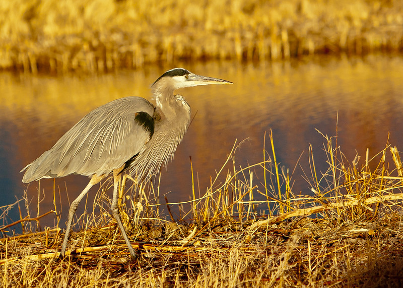 Great blue heron<br /> Bosque del Apache NWR, New Mexico
