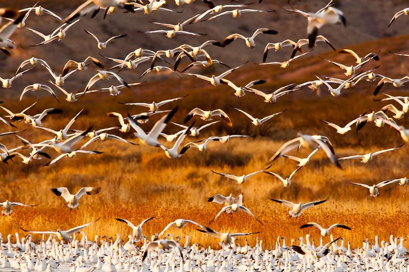 Blast Off!<br /> Bosque del Apache NWR, New Mexico