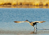 Sandhill Crane Lift-off<br /> Bosque del Apache NWR, New Mexico
