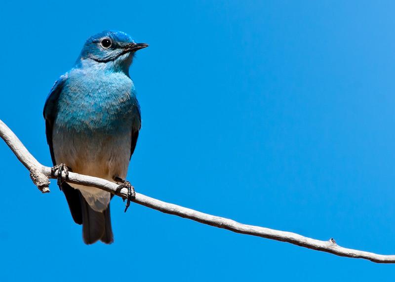Blue On Blue<br /> Mountain Bluebird Bosque del Apache NWR, New Mexico