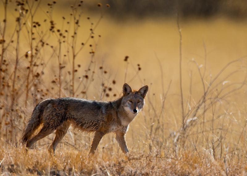 Coyote<br /> Bosque del Apache NWR, New Mexico