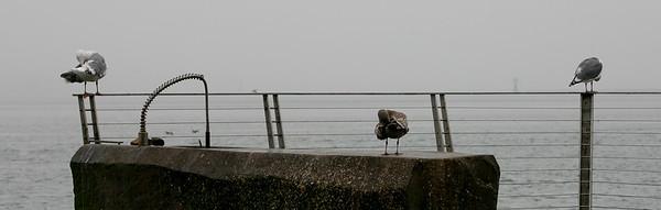 Birds on fish cleaning station Long Beach, Washington
