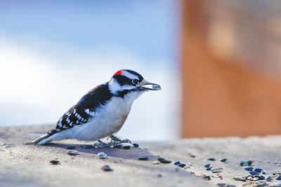 Pike Lake, Saskatchewan, Downy Woodpecker 2010-3