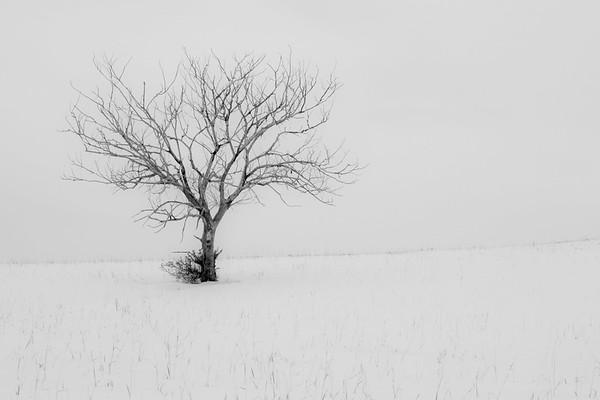 Snow, Tree, Beaver Creek, Saskatchewan,  2010