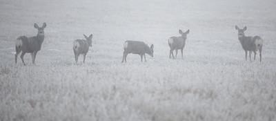 Deer in Heavy Fog_