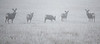 Deer in Heavy Fog_