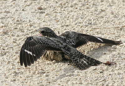 Female Antillean nighthawk
