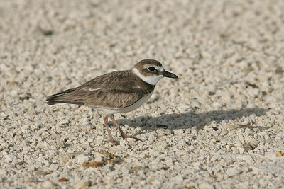 Female Wilsons plover