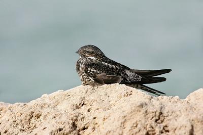 Male Antillean nighthawk