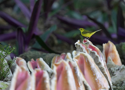 Female hooded warbler on conch shells
