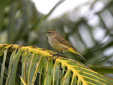 Palm warbler on palm