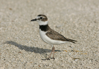 Male Wilsons plover