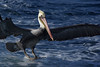 BROWN PELICAN gliding in for a water landing....