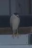 """Black-crowned Night Heron ... hanging """"6"""" at the docks."""