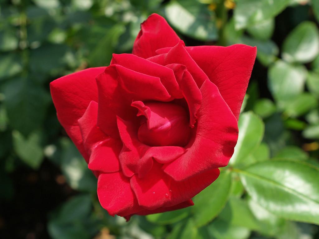 Velvet Rose