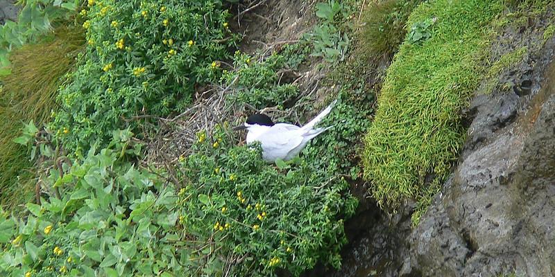 5AGCol-WhFrTernAtNest737 Nov. 21, 2009  9:21a.m.  P1050737 White-fronted Tern, S. striata, on nest at gannet colony northwest of Auckland