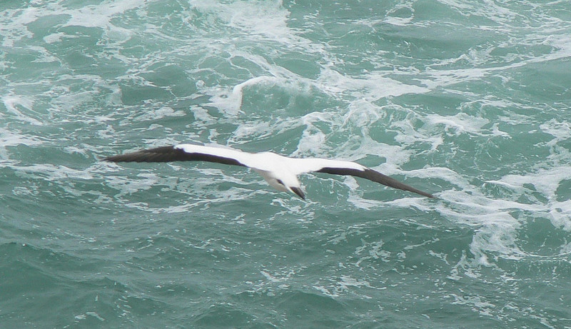 5AustralianGannet743 Nov. 21, 2009  9:40a.m.  P1050743 Australian Gannet in flight at Muriwai colony nw of Auckland