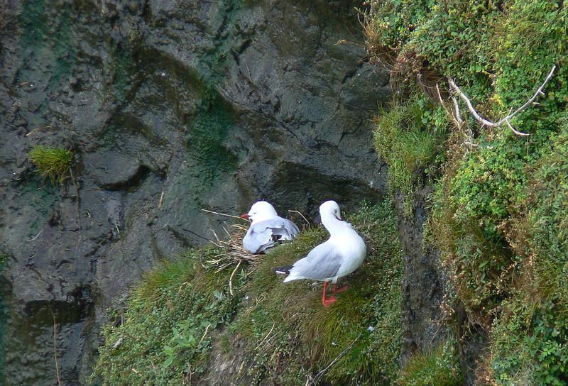 5AGCol-RBGullNest734 Nov. 21, 2009    9:19a.m.   P1050734   Red-billed Gull, Larus scopulinus Muriwai gannet colony & throughout