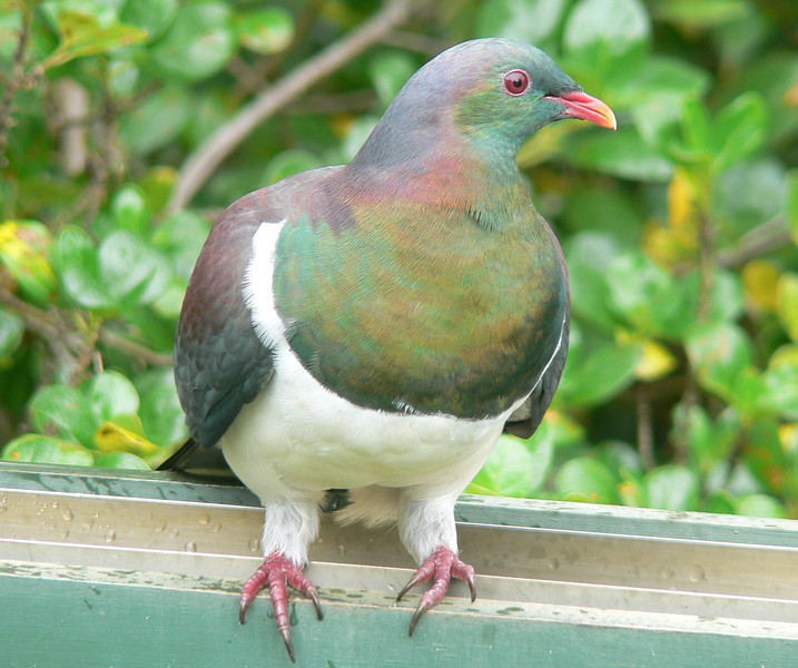 5NZPigeon801 Nov. 22, 2009, 11:08 a.m. P1050801 New Zealand Pigeon, Hemiphaga novaeseelandiae, at Tiritiri Matangi