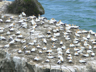 5AusGannetColony719 November 21, 2009  9:04am  P1050719 Australian Gannet colony, Morus serrator, at Muriwai nw of Auckland