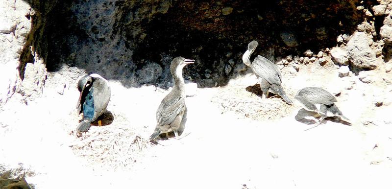 5SpottedShags850 Nov. 26, 2009  2:38 p.m.  P1050850 Spotted Shags at Taiaroa Head near the Penguin Place.  Phalacrocorax punctatus.  We got both subspecies.
