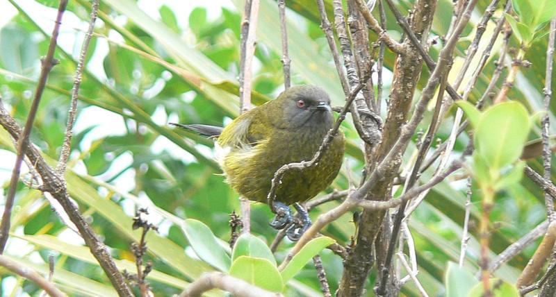 5NZBellbird796 Nov. 22, 2009  11:07 a.m.  P1050796    New Zealand Bellbird, Anthornis melnura, at Tiritiri Matangi