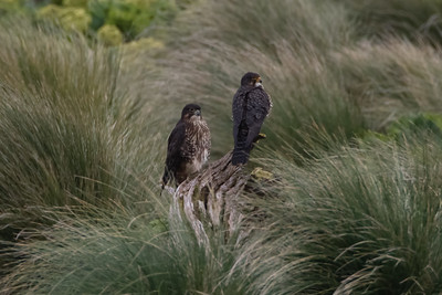 New Zealand Falcons