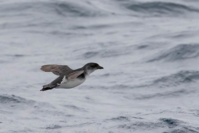 Common Diving Petrel