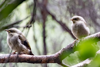 Bellbird fledglings