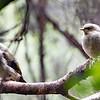 Bellbird fledglings