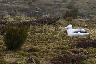Southernn Royal Albatross